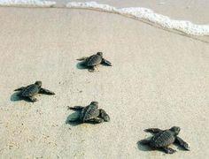 Awww baby sea turtles