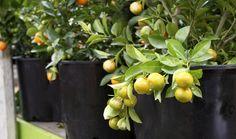 Growing Citrus in Containers, McDonald Garden Center, Virginia Beach