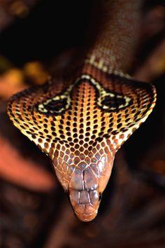 snake-lovers:  Indian Cobra (Naja naja)