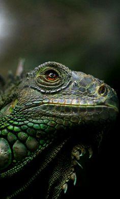 Iguana..