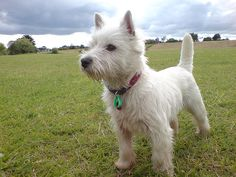 Westhighland White Terrier, they have such personality! Ours keeps us on our toes!