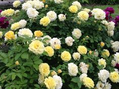 yellow knockout roses double bloom | Double Knockout Roses. Get in my garden!