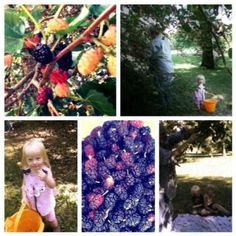 Here we go 'round the mulberry bush (Photos)...  How to find, gather and freeze mulberries.