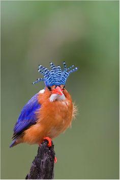 Malachite Kingfisher (Alcedo cristata), found in Africa south of the Sahara.