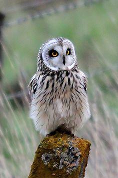 """""""Short-eared Owl"""" by chrisncox on Flickr"""