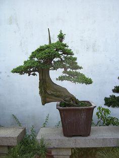 Slick conifer bonsai