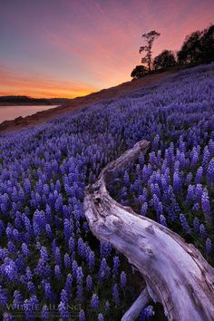 ~~Purple Magic ~ field of lupins, sunset, California by Willie Huang~~ background images, lavender fields, california, sunset, purpl magic, carpet, bridesmaid gowns, flowers garden, blues