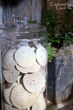 Sand Dollars in jars on display.