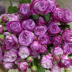 Lady bombastic garden spray roses: all year