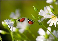 ladybugs and white flowers oh how I love ladybugs