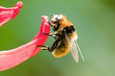 bumble bees, garden