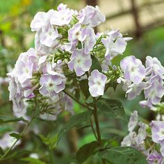 Phlox ~ full sun or part shade, moist, well-drained soil, and fragrant blooms which attract bees and butterflies.