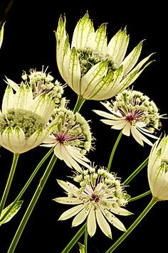 Astrantia, Andy Small