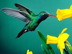 colorful birds, yellow flowers, oil paintings, hummingbird tattoo, animals, exotic birds, wallpapers, daffodils, hummingbirds