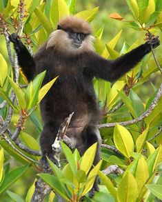purple faced langur (Trachypithecus vetulus)