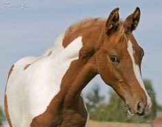 Arabian paint colt