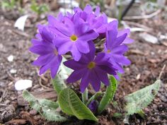Primrose denticulata now in bloom.