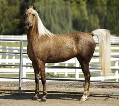 Creme Brulé  Chocolate Dappled Palomino Morgan mare