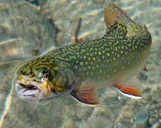 Brookie: Fly-Fishing! #brookie #flyfishing #brooktrout