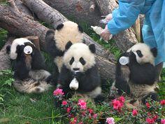 Baby pandas (Chengdu).