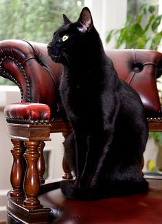 Gorgeous black cat