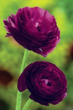 Ranunculus 'Purple'