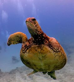3-Flipper Honu, Keep on keeping on | Hawaii Pictures of the Day