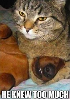 Funny Hilarious Cute Cat and Kitten Pictures #Cat #CatPictures #GrumpyCat #Kittens #Captions