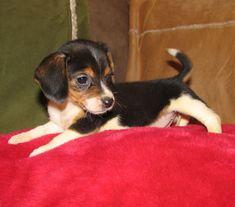 OMG I want one....Pocket Beagle   Pocket Beagle Information and Pictures, Pocket Beagle