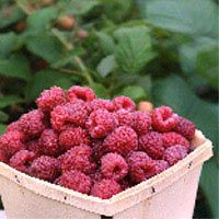 how to grow berry bushes