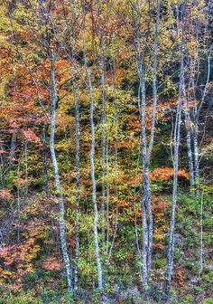 Fall Trees Vertical