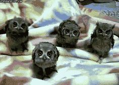 Owl quartet