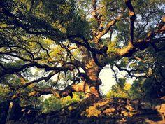 Arbol milenario / old tree