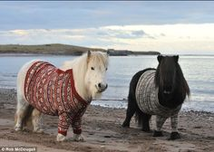 Shetland ponies wearing Shetland sweaters on the Shetland Islands. (I officially LOVE Shetland Ponies.... and Shetland sweaters too... that's why I love this pic so much! ;-))
