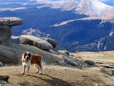saintbernard in bucegi mountains