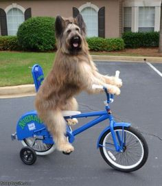 #funny #dog riding his bicycle!