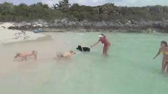 pig piglet, swim pig, food, pig beach, pig amp