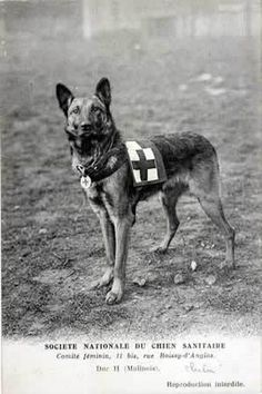 """WWI """"Ambulance"""" or Red Cross Dog c. 1915  Trained to find live casualties on the battlefield and perform a refind to his handler, leading help to the wounded."""