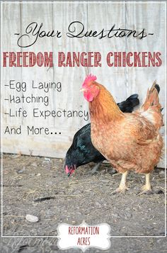 Freedom Ranger Life Span, Egg Laying, Hatching, and More