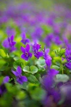 woodland walk, violet, flower