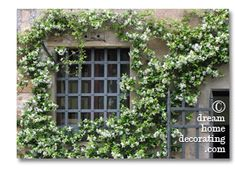 exterior window treatments in Tuscany: trachelospermum jasminoides