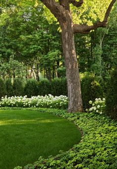 pachysandra and white hydrangea-am such a purist. Love white and green only in the garden