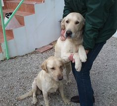 Contra la venta de cachorros de perros labrador Leon