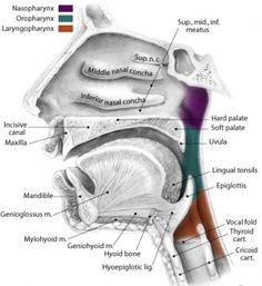 Speech anatomy