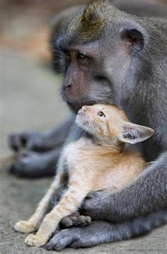 Monkey adopting kitten = adorable!!    (Photo credit: Anne Young / solentnews.co.uk)