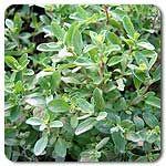 garden grow, high mow, mow organ, herb perenni, organ seed, kid garden, garden program, sweet marjoram, organ sweet