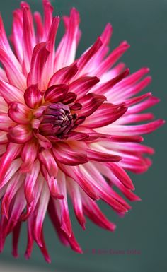 ~~A Starburst is Born | Hollyhill Starburst Dahlia - Each flower is magenta-purple and white with yellow at the center. A beautiful straight cactus dahlia! | by Robin Evans~~