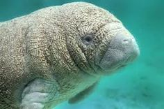 manatees, endangerment could be prevented...major cause are boats.  manatee-world.com