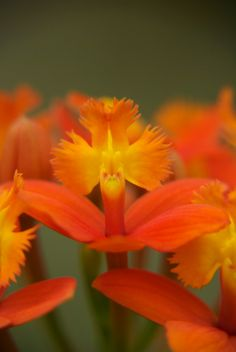 Epidendrum hybrid - See it at The Orchid Show www.chicagobotani...