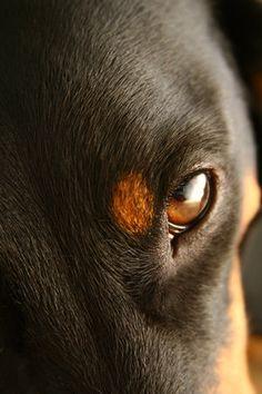 eye of the dachshund  #Doxie Darlin' ♥ LOVE